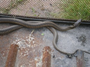 The Eastern Ribbon Snake